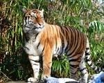 Mỹ: Sau mèo nhà, thêm hổ và sư tử mắc COVID-19