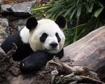Gấu trúc già nhất thế giới tại Trung Quốc qua đời ở tuổi 38 - ảnh 1