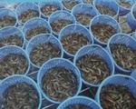 Kịp thời tháo gỡ khó khăn, tái sản xuất thúc đẩy ngành tôm phát triển