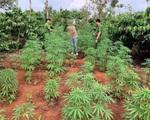 Liên tiếp phát hiện các vụ trồng cần sa, có nhà tới hơn 1.000 cây