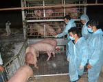 Lô lợn giống nhập khẩu từ Thái Lan về tới Việt Nam