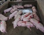 Lợn hơi tăng giá trở lại bất chấp lợn sống từ Thái Lan lại về - ảnh 3