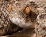 Phát triển thuốc tăng cơ hội sống cho bệnh nhân bị rắn cắn