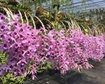 Mê Lan - Thương hiệu uy tín dành cho tín đồ thích trồng hoa lan