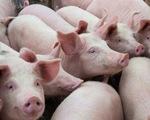 Tăng nhập thịt lợn, lợn sống để giảm áp lực nguồn cung trong nước