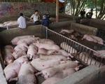Giá lợn hơi xuống thấp, người chăn nuôi vẫn có lãi