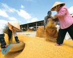 Hạt gạo Việt và câu chuyện 'chiếu dưới' sau 30 năm xuất khẩu