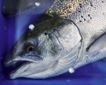 Virus SARS-CoV-2 có thể tồn tại trên cá hồi sống trong 1 tuần