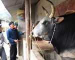 Gần 100 con gia súc ở Sơn La bị chết do giá rét