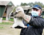 EU khuyến nghị thường xuyên xét nghiệm virus SARS-CoV-2 ở các trang trại nuôi chồn