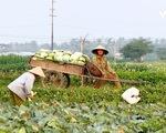 Nông sản ở nhiều địa phương rẻ như cho vẫn không có người mua