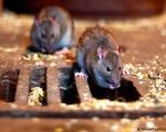 Vương quốc Anh: Việc đóng cửa phòng dịch lại khiến chuột sinh sôi
