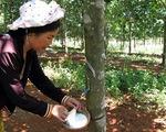 Ký kết toàn diện về phát triển cây cao su ở các tỉnh phía Bắc