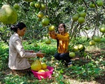 Sản xuất nhỏ lẻ, bưởi Tân Triều lỡ cơ hội xuất khẩu