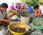 Khẩn trương ngăn chặn việc nhân nuôi ốc bươu vàng
