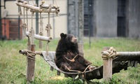 Hanoi inaugurates first rescued bears house