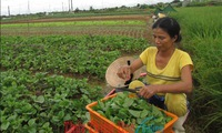Farm co-operatives improve the lives of local farmers in Thua Thien - Hue