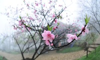 Sa Pa tourists eager to enjoy the cherry blossoms