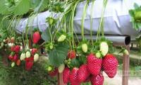 Strawberry farm tour attracts tourists