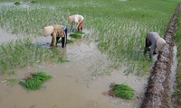 Climate change affects Vietnam's rice bowl
