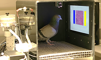Pigeons Pathologists Learn to Detect Cancer