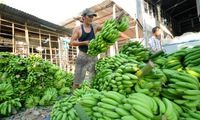 Export potential of Vietnamese bananas untapped