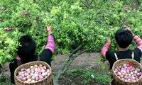 Tourists enjoy plums at Moc Chau Plum Harvest Festival
