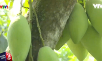 Nearly 200 tonnes of mangoes exported to US