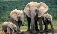 Elephant population found in Quang Nam