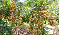 Son La exports first batch of longan to China