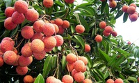 Labeled Thanh Ha lychees to boost sales