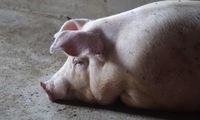 South Korea on highest alert after african swine fever discovered