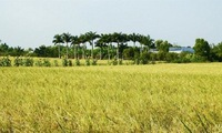 Vietnam's jasmine rice crowned best in world