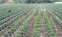 Mekong Delta farmers grow new flower varieties for Tet