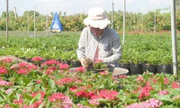 Millions of flowers in Sa Dec provide decorations for the Lunar New Year