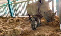Two newborn rhinos in Phu Quoc island