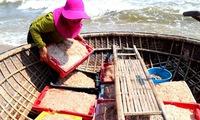 Quang Nam fishermen enjoy bumper shrimp season