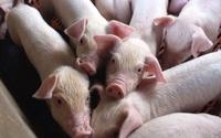 Vì sao giá lợn giảm mạnh?