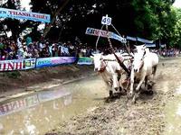 Độc đáo lễ hội đua bò Bảy Núi