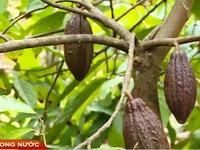Bến Tre: Giá giảm, người dân chặt bỏ cây cacao