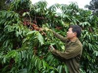 Đắk Lắk quyết liệt đối phó nạn trộm cắp cà phê