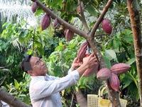 Cacao Việt Nam có hương vị hàng đầu thế giới
