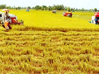 Xây dựng thương hiệu gạo quốc gia cần những cánh đồng mẫu lớn