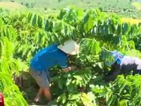 Nhức nhối vấn nạn trộm cắp cà phê tại Tây Nguyên