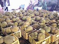 Tịch thu hơn 2.000kg sầu riêng tẩm hóa chất tại Lâm Đồng