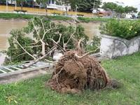 TT-Huế, Đà Nẵng: Khắc phục cây xanh ngã đổ do bão số 4