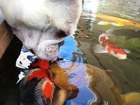 Mối tình kỳ lạ giữa cá Koi Nhật Bản và chó bull Pháp