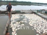 Cá lồng chết hàng loạt ở Phú Yên