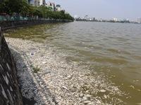 Cá chết hàng loạt bất thường ở hồ Tây