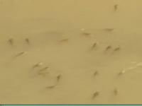 Bạc Liêu: Cá chết trắng kênh do ô nhiễm rơm rạ